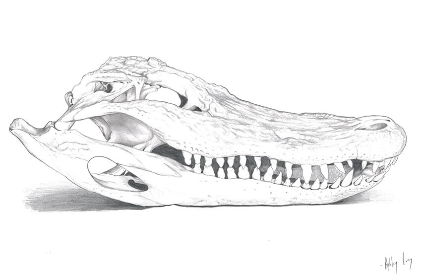 Alligator Line Drawing-river town days-updated